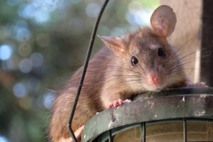 Rat extermination, Pest Control in Barking, Creekmouth, IG11. Call Now 020 8166 9746