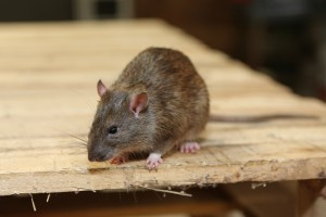 Rodent Control, Pest Control in Barking, Creekmouth, IG11. Call Now 020 8166 9746