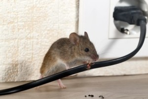 Mice Control, Pest Control in Barking, Creekmouth, IG11. Call Now 020 8166 9746